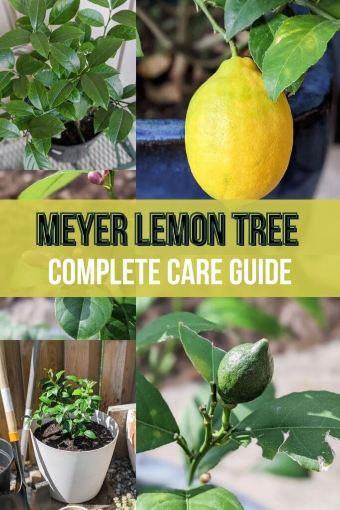 image collage of Meyer lemon tree  with text Meyer Lemon Tree complete care guide