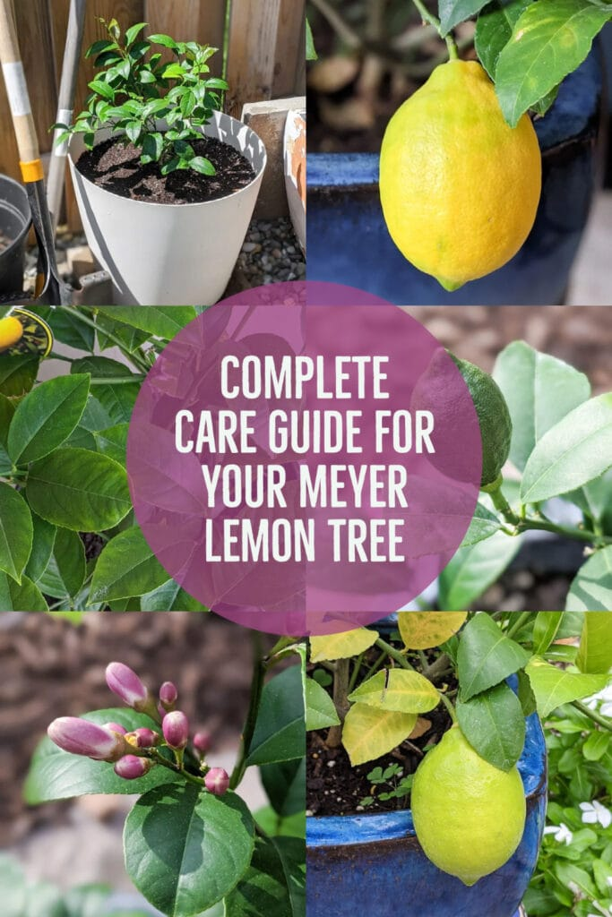 image collage of Meyer Lemon Tree with text Complete Care Guide for Your Meyer Lemon Tree