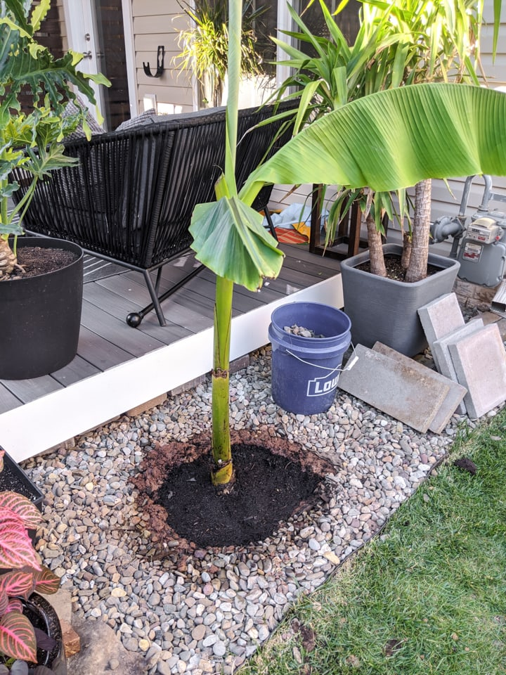 planting a banana plant in the ground