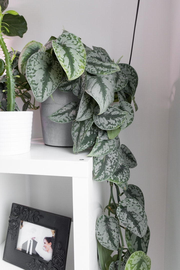 Scindapsus pictus satin pothos plant