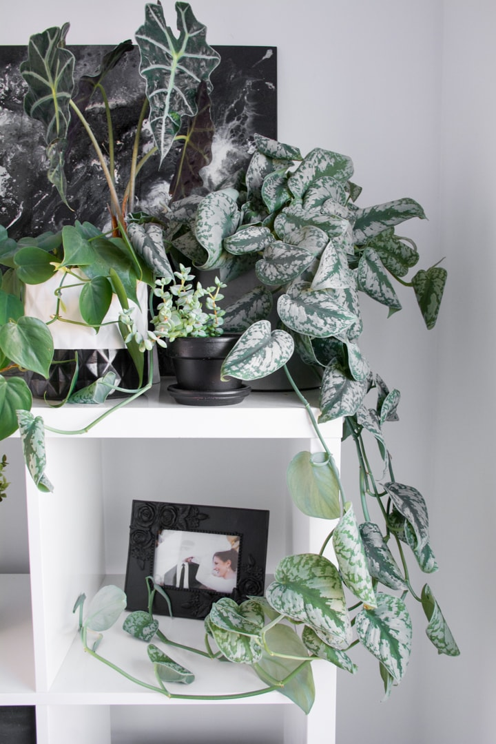 satin pothos leaves curling and how to fix it