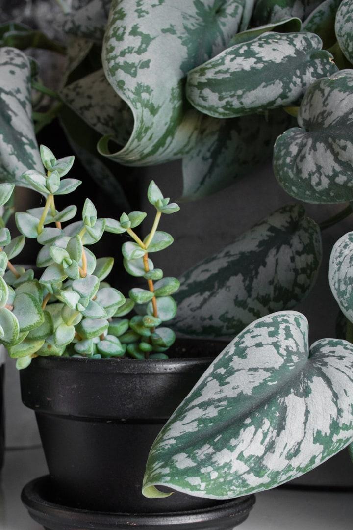 beautiful scindapsus pictus exotica plant and a succulent