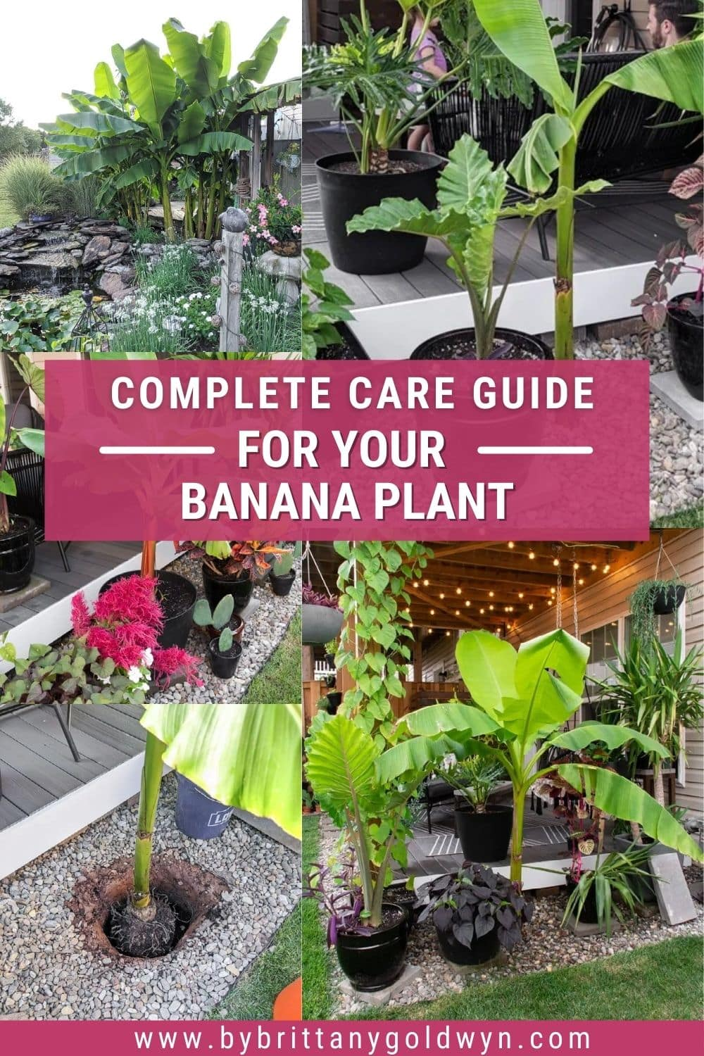 image collage of the banana plant with text overlay