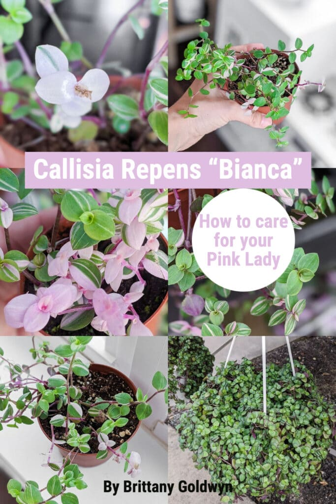 Callisia repens bianca care plant collage with text overlay