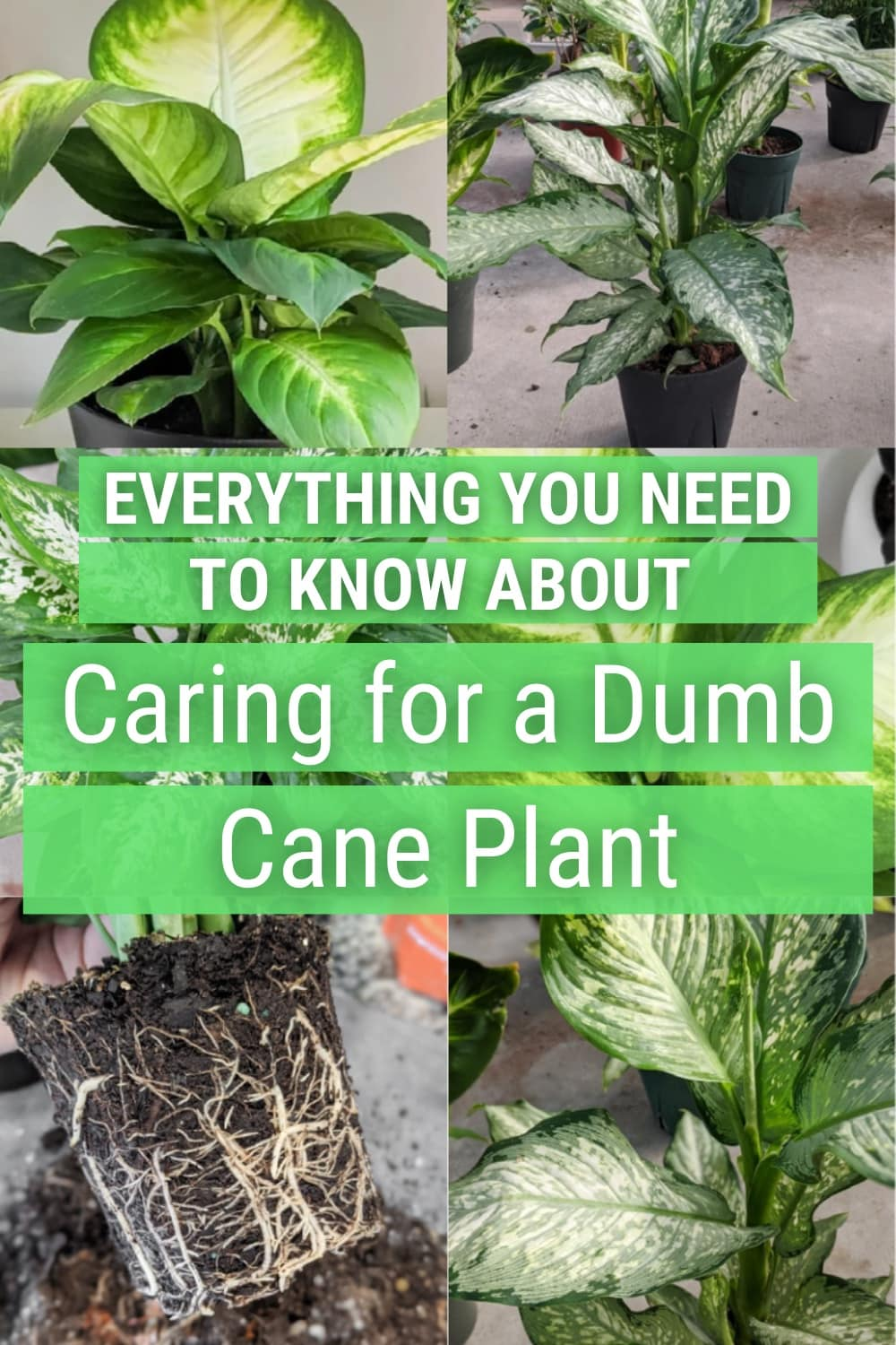 image collage of dumb cane with text Everyitng you need to know about caring for a dumb cane plant