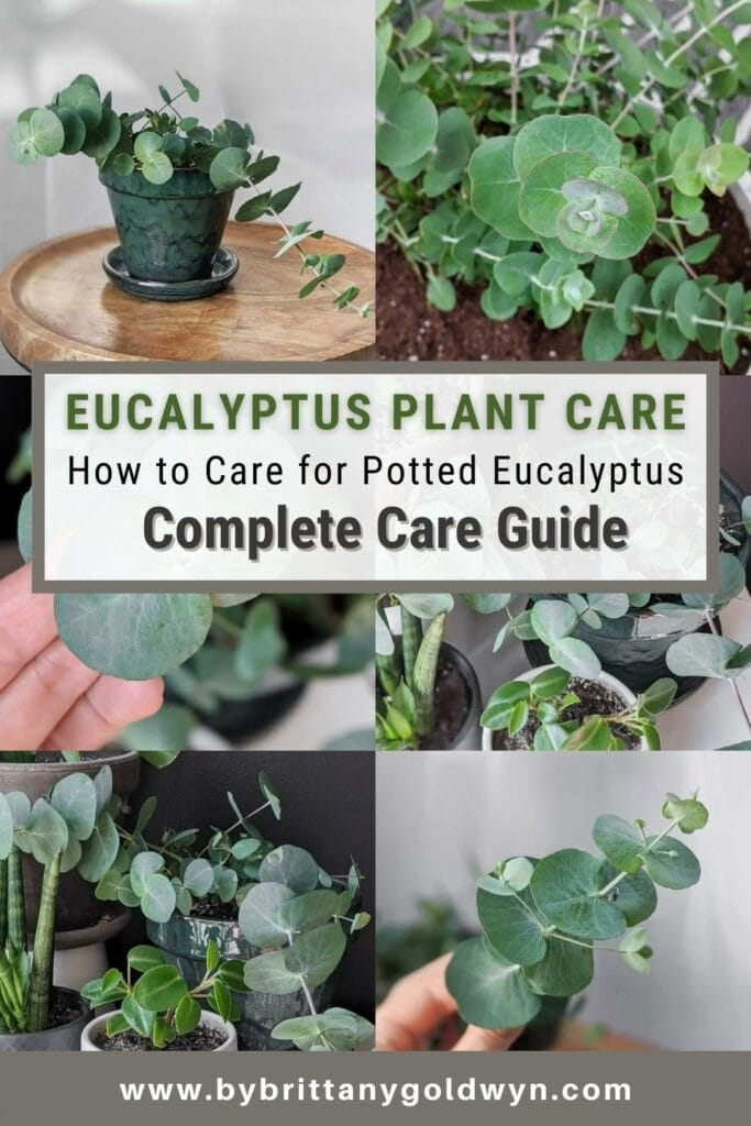 image collage of Eucalyptus Plant Care with text overlay