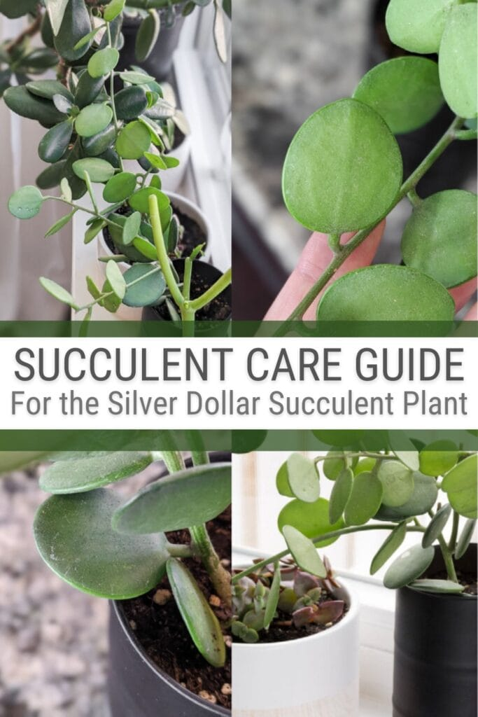 image collage of plants with text Succulent Care Guide for the Silver Dollar Succulent Plant
