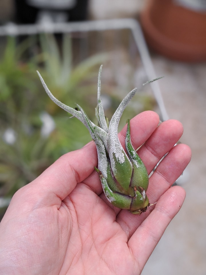 Tillandsia bulbosa care