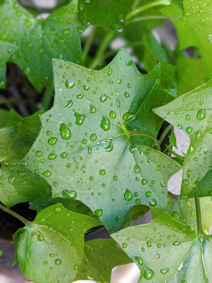 cape ivy leaf