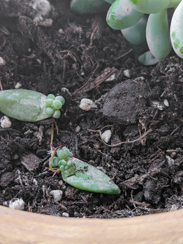 propagating a burro's tail succulent by leaf