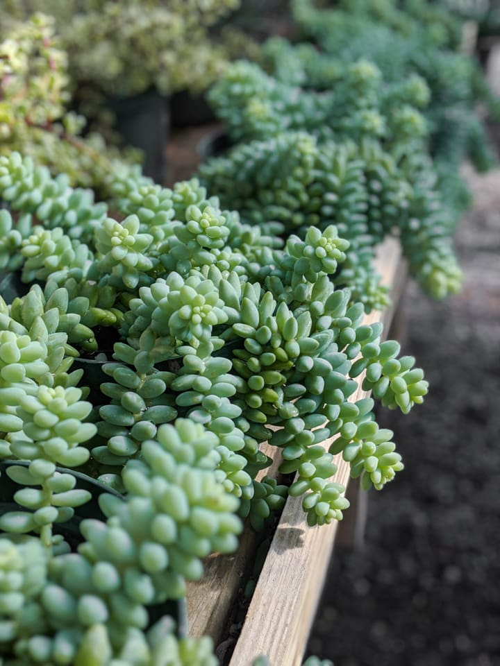 burro's tail care guide