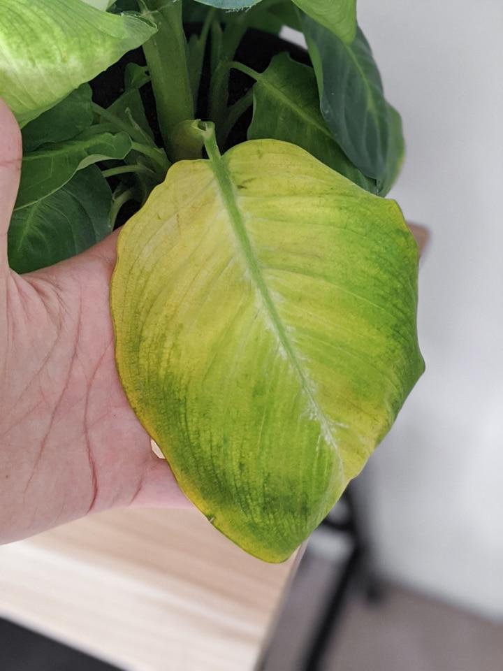 yellowing leaf on a dumb cane plant