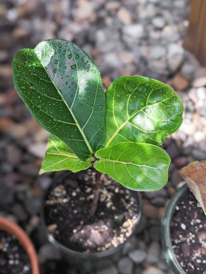 propagated fiddle leaf fig cutting