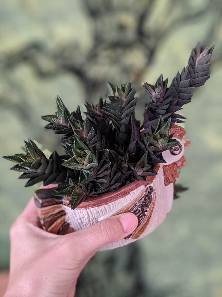 beautiful black haworthia coarctata