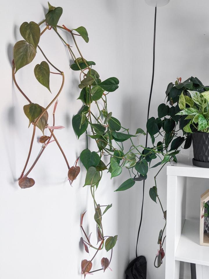 How I Vine Houseplants on a wall