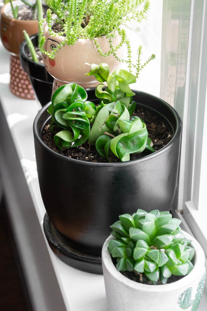 Hoya Rope Plant on a windowsill with other plants
