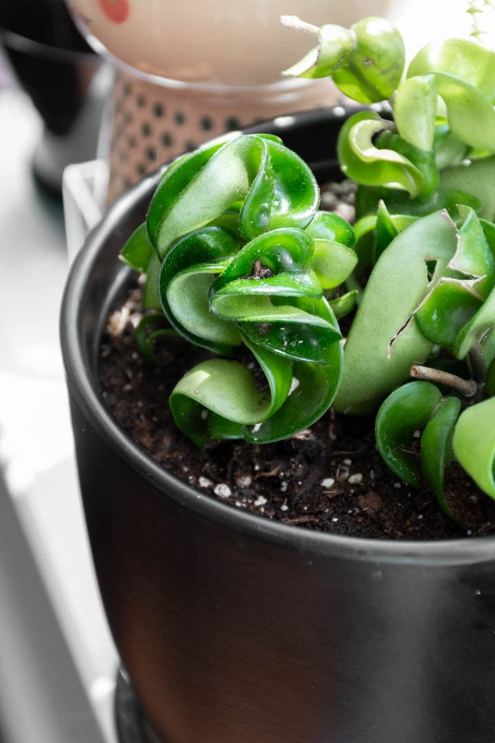 Hoya Rope Plant Care