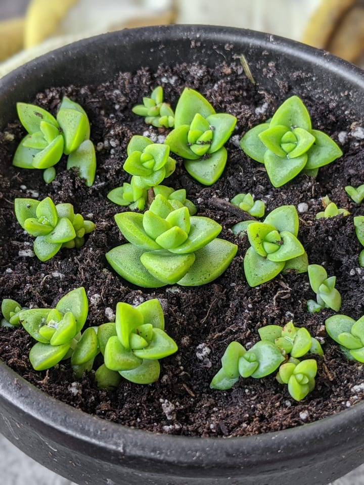 Succulent Stretching and How to Prune Leggy Succulents