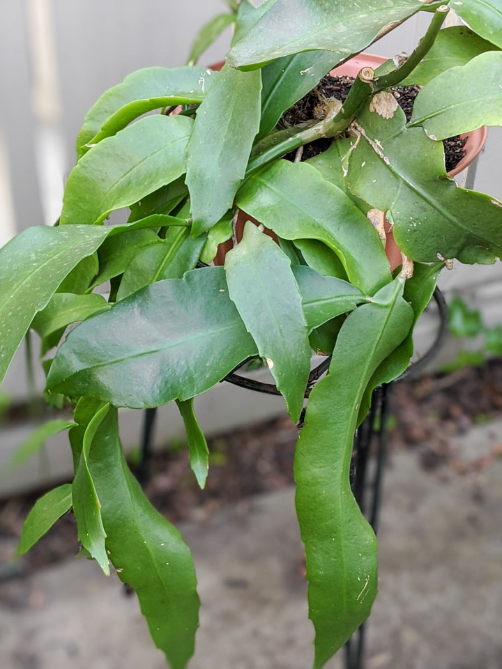 Epiphyllum Oxypetalum care