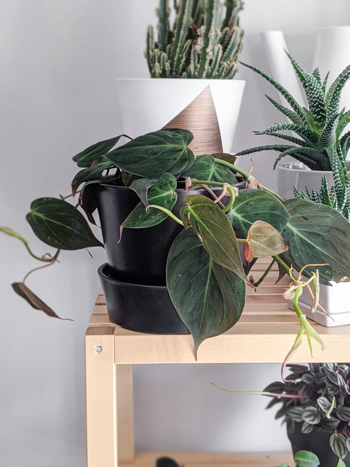 Philodendron Micans Care