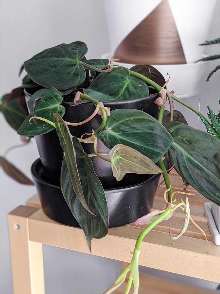 beautiful velvet leaf Philodendron