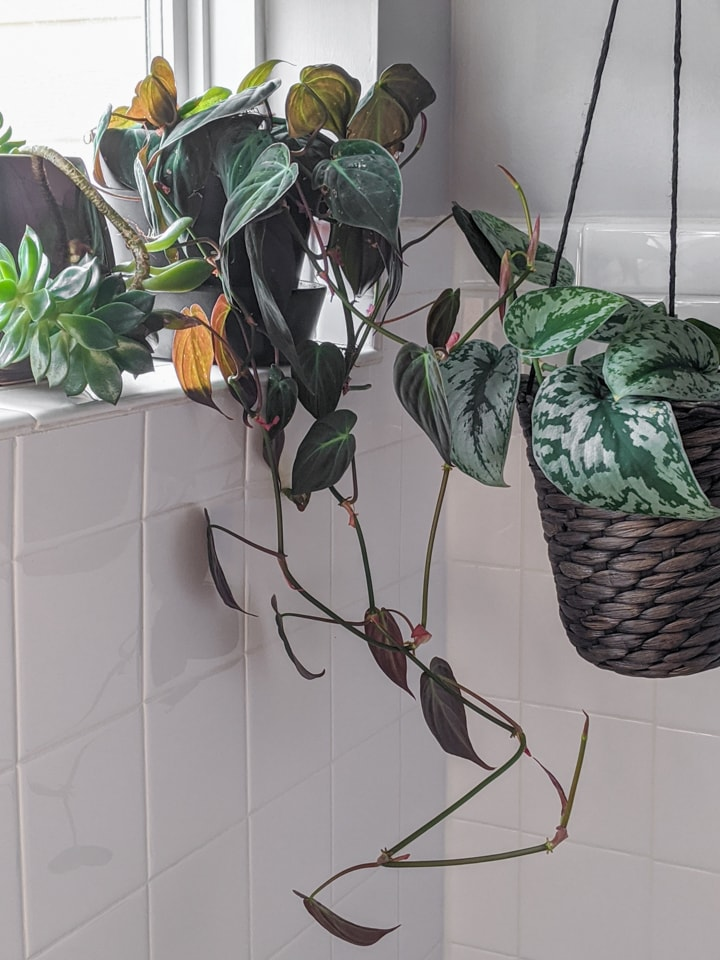 velvet leaf Philodendron in a bathroom