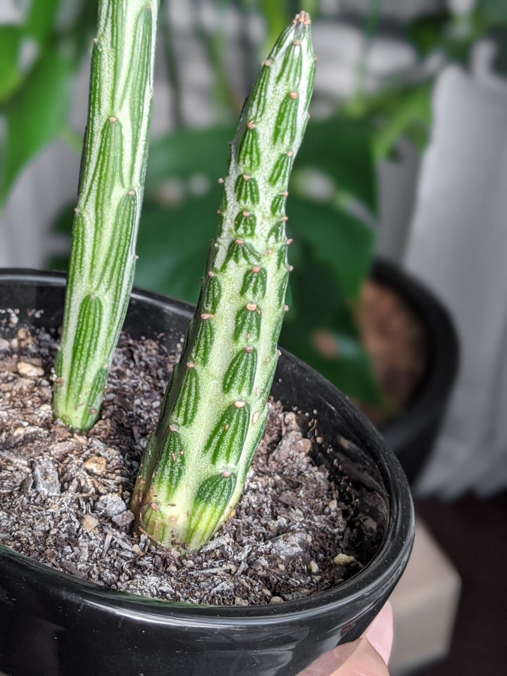 Kleinia Stapeliiformis Pickle Plant