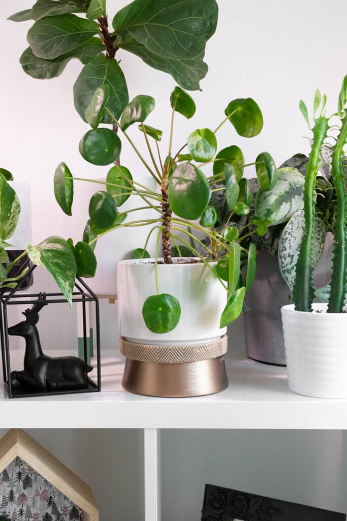 Pilea Peperomioides and other plants under a grow light