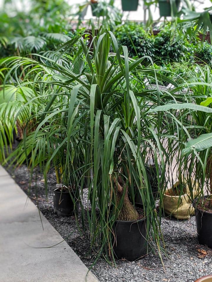 large ponytail palm plant