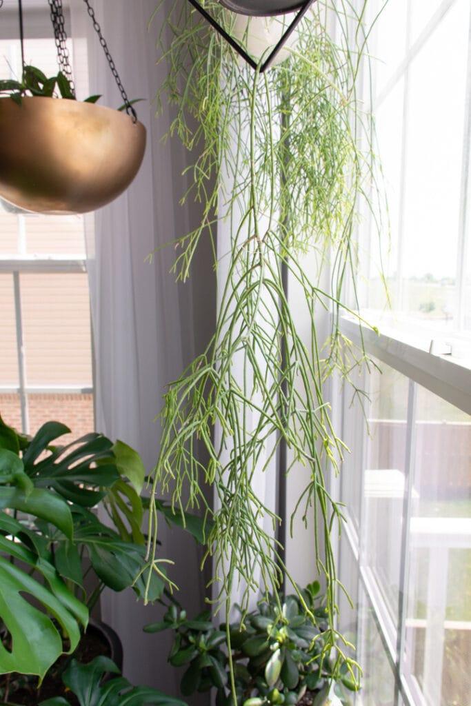large rhipsalis plant hanging