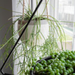 Rhipsalis Mistletoe Cactus Care: It's Not Just for the Holidays