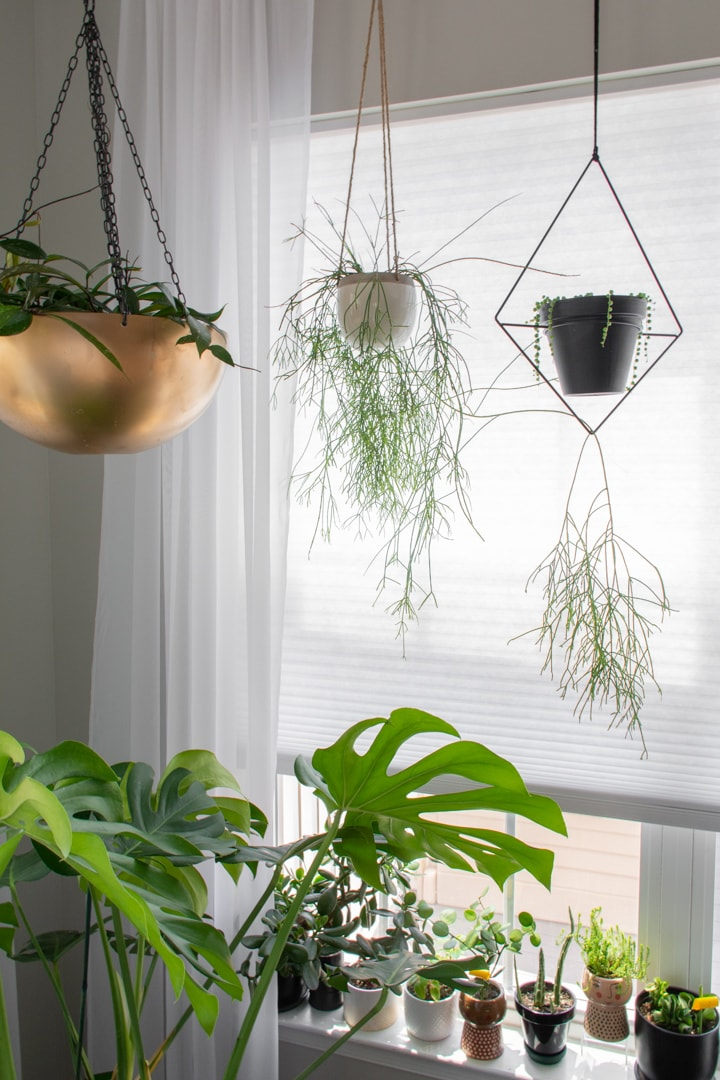 Rhipsalis and string of pearls plants hanging from a curtain rod