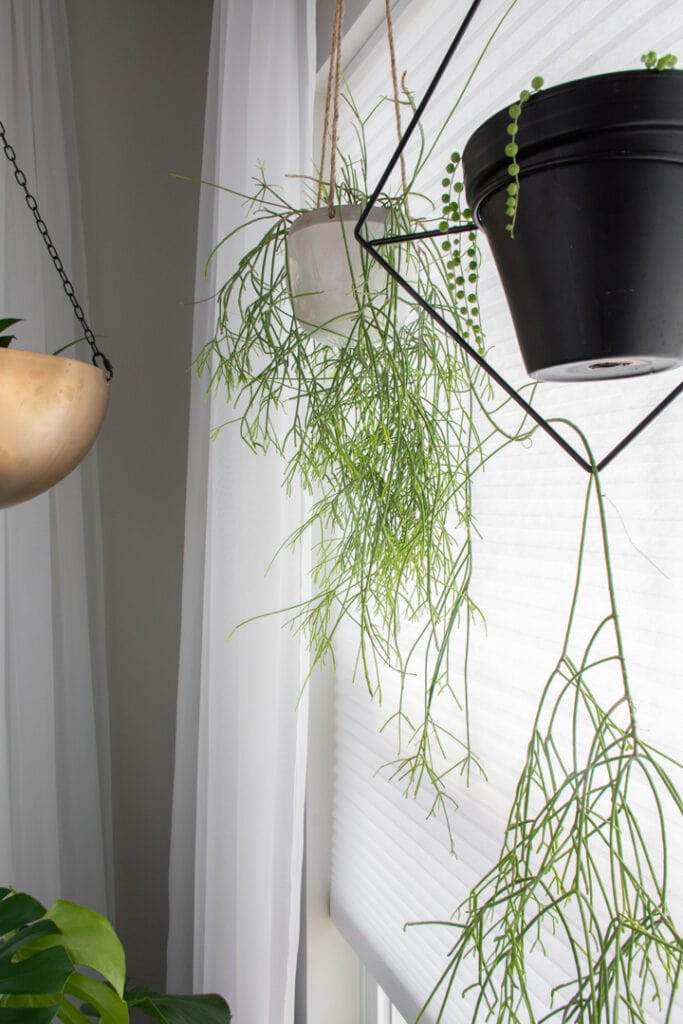 rhipsalis plant care guide