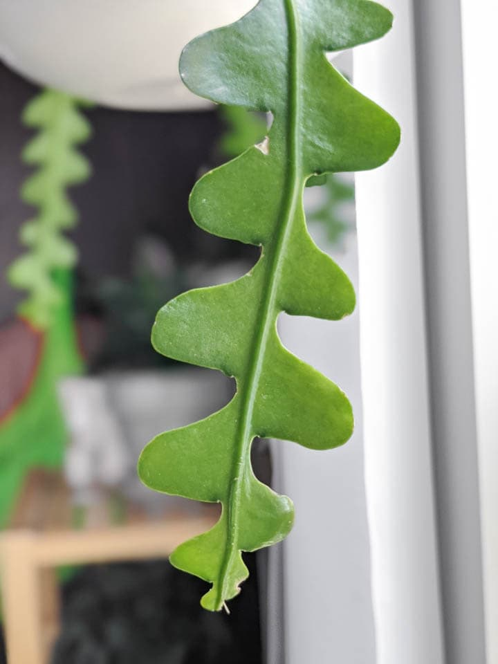 ric rac cactus stem