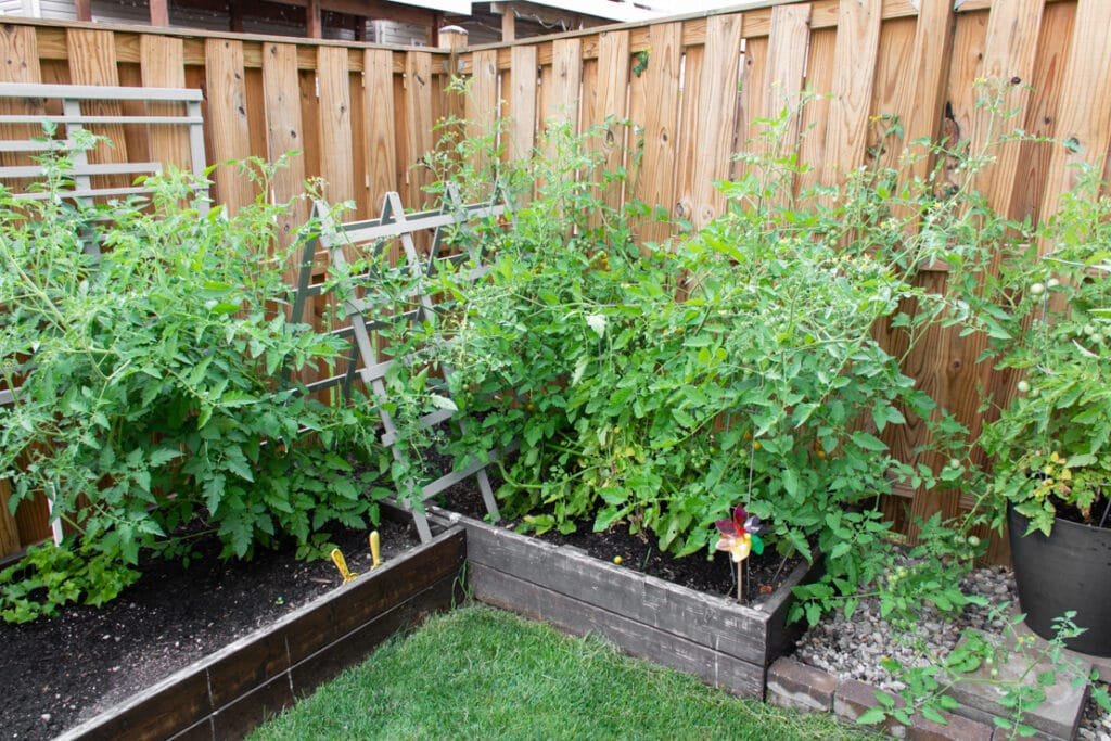 tomato plants in a townhouse garden