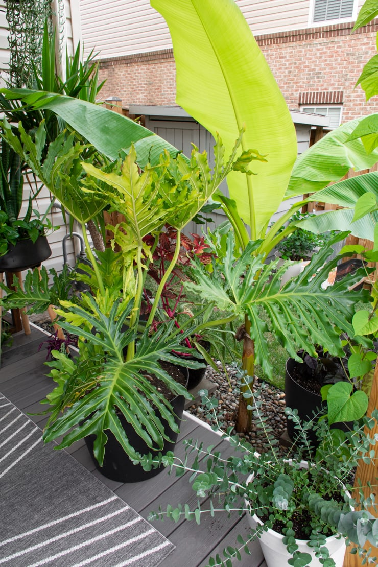 large tree philodendron outdoors on a patio