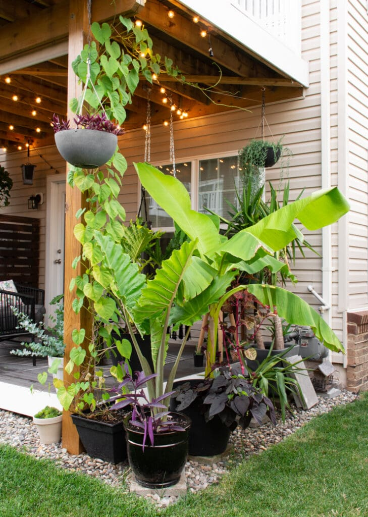 how to care for a banana plant in a pot or in the ground