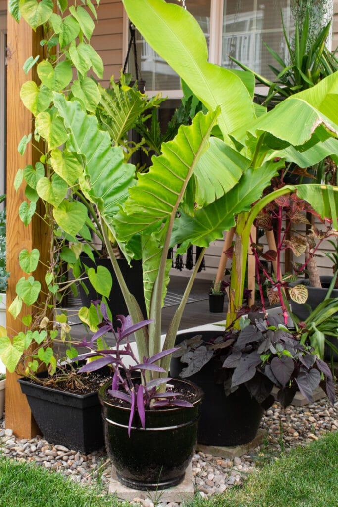 large elephant ear plant