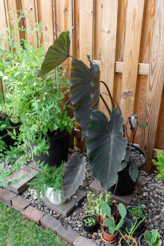 black elephant ear plant in a pot