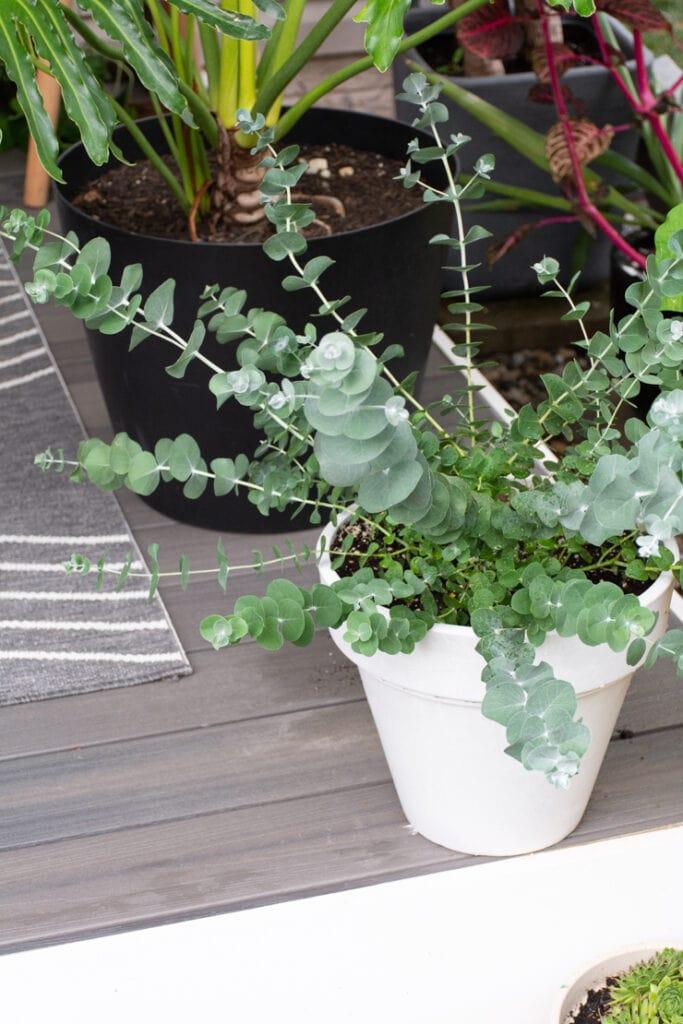 eucalyptus plant on a deck