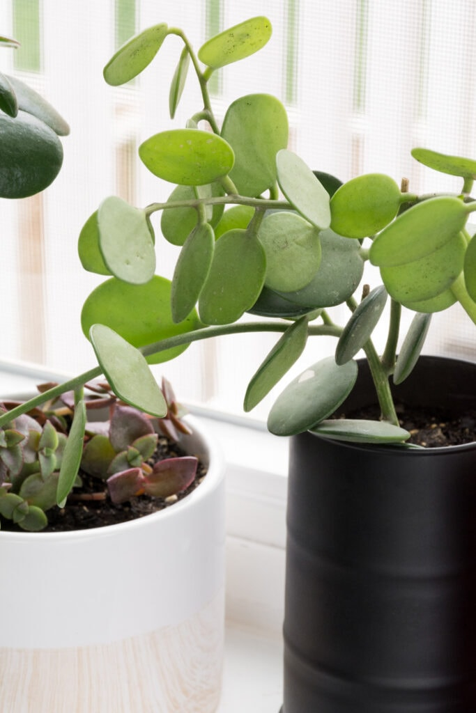tips for buying silver dollar succulent vine on Etsy