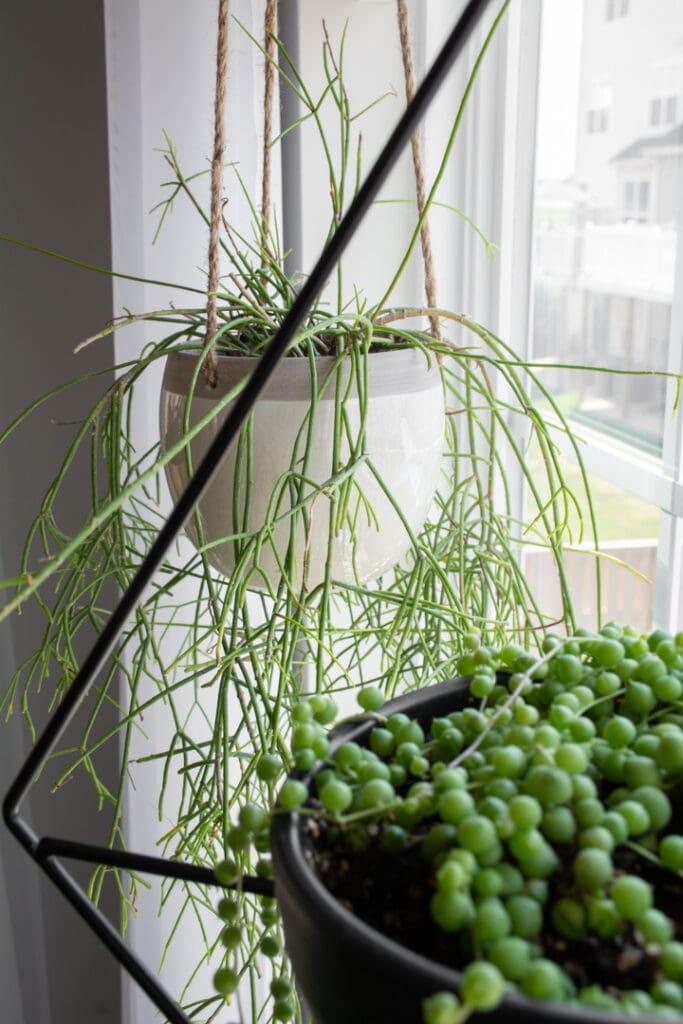tips for buying rhipsalis cactus on Etsy