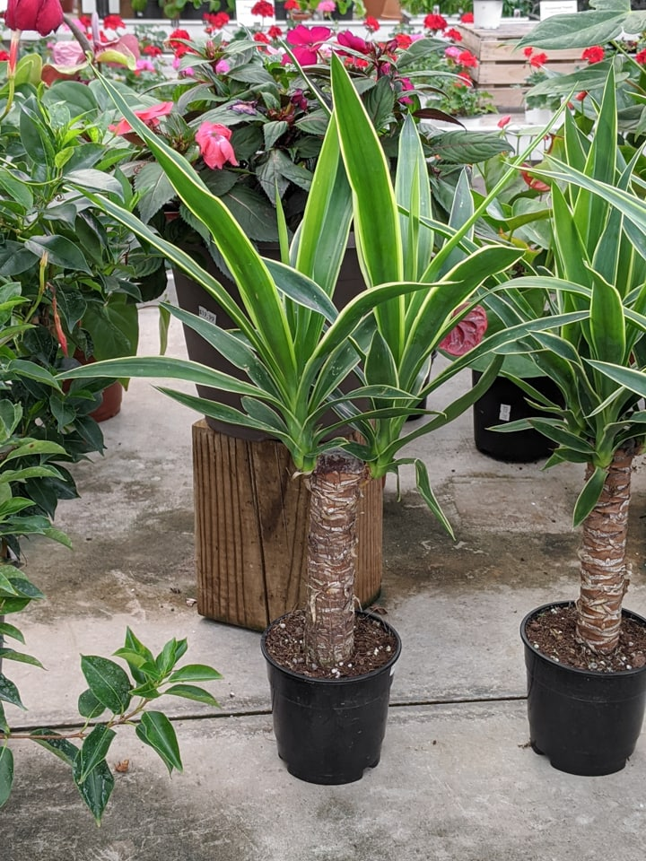 yucca plant in a pot