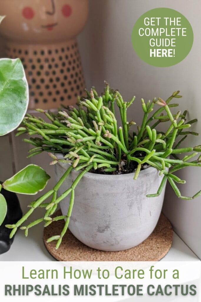 Rhipsalis cactus in white pot with text Learn How to Care for a Rhipsalis Mistletoe Cactus