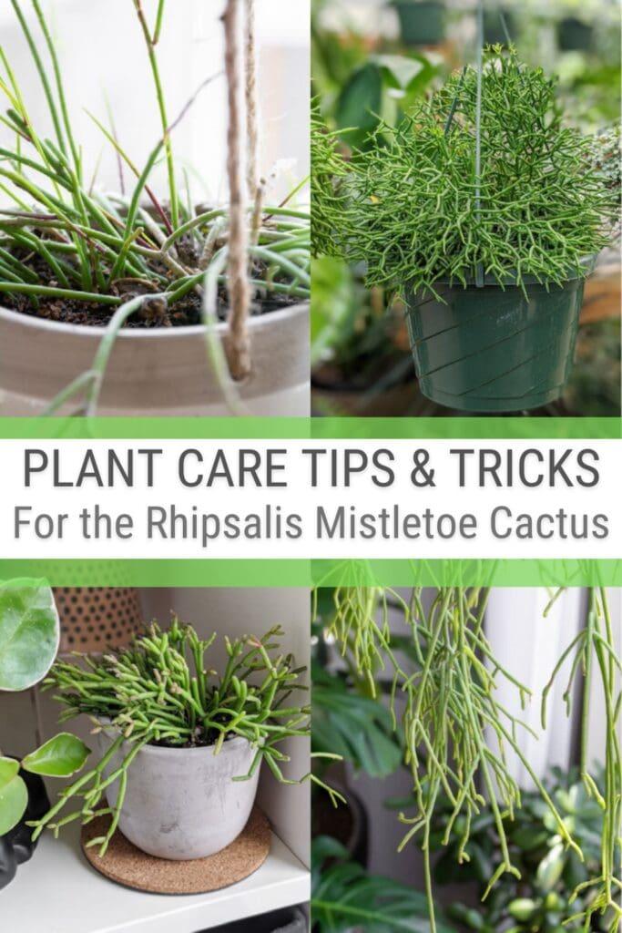 image collage of Rhipsalis Mistletoe Cactus with text Plant Care Tips & Tricks for the Rhipsalis Mistletoe Cactus