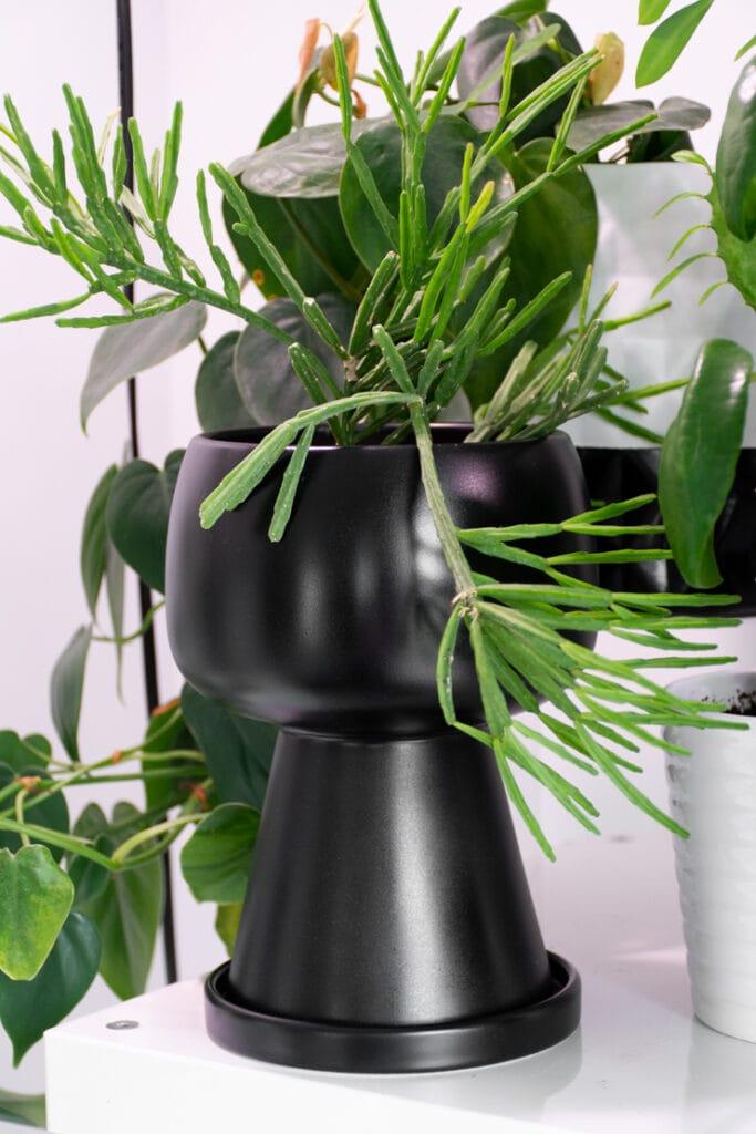 trailing rhipsalis plant