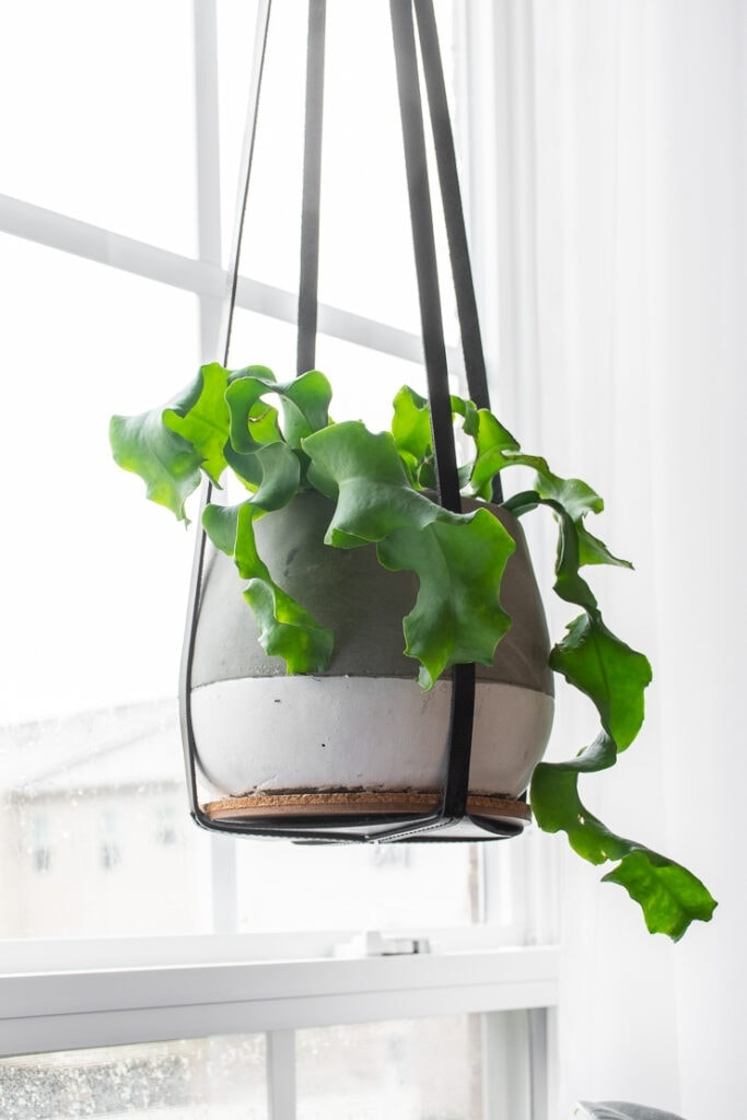 Curly orchid cactus in grey and white hanging planter in front of window