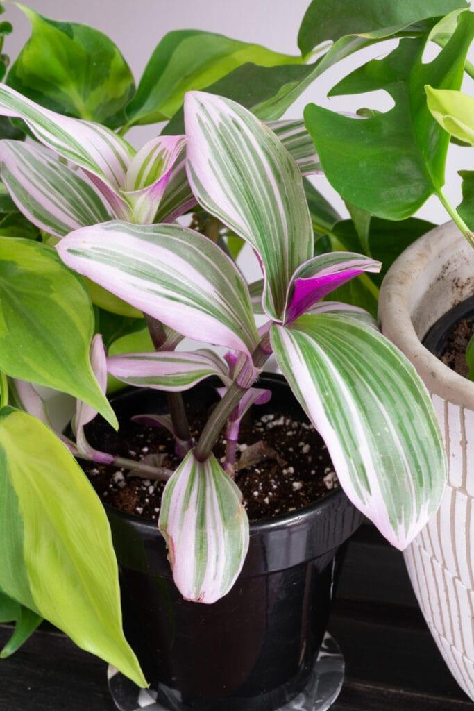 beautiful nanouk plant