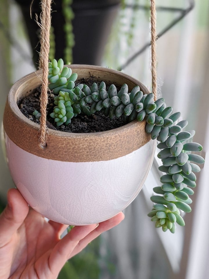 Donkey's tail in white and clay indoor hanging planter trailing over the side of planter