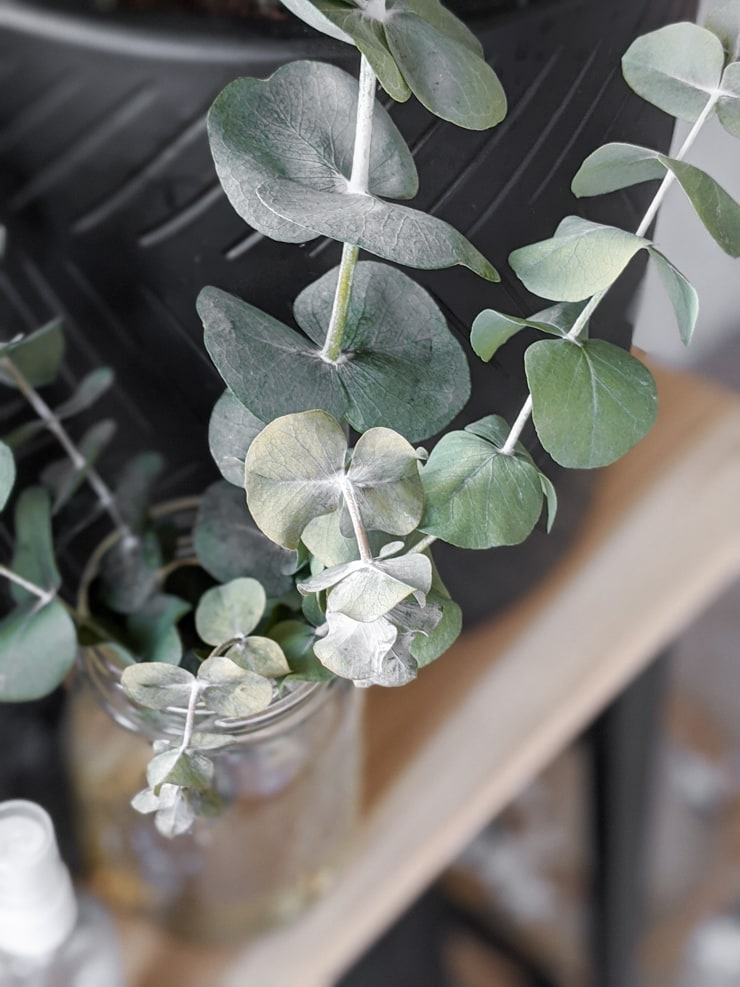 closeup of eucalyptus leaves drying in glycerin solution